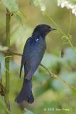 Cuckoo, Asian Drongo @ JEP