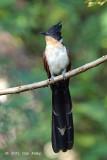 Cuckoo, Chestnut-winged @ JEG