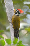 Woodpecker, Olive-backed