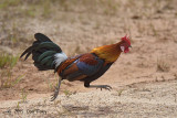 Junglefowl, Red (male)