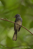 Fantail, Spotted @ Gunung Arong