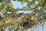 Kite, Black-winged (nest) @ Tuas
