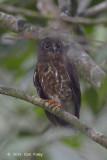 Owl, Brown Hawk
