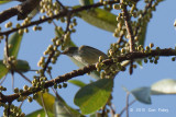 Flowerpecker, Thick-billed