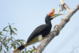 Hornbill, Rhinocerus (male)