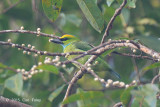 Barbet, Yellow-crowned