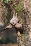 Owl, Spotted Wood (juv) @ Pasir Ris Park