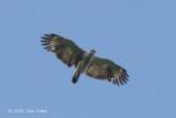 Eagle, Lesser Fish (juv)