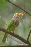 Barbet, Lineated @ Bidadari