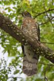 Cuckoo, Large Hawk (adult) @ Pasir Ris