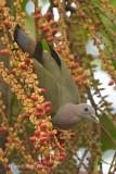 Pigeon, Pink-necked Green @ Pasir Ris