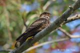 Nightjar, Large-tailed @ Halus