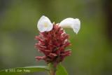 Crepe Ginger (Cheilocostus speciosus)