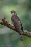 Cuckoo, Large Hawk (juv) @ Bidadari