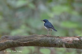 Robin, Siberan Blue (male)
