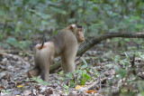 Macaque, Pig-tailed