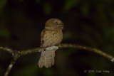 Frogmouth, Gould's (male)