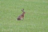 Euopean Hare