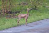 Fallow Deer @ Oland, Sweden