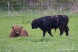 Scottish Highland Cattle @ Hornborgasjön, Sweden