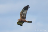 Harrier, Western Marsh