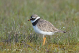 Plover, Common Ringed (male) @ Oland, Sweden