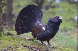 Capercaillie, Western (male) @ near Varberg, Sweden