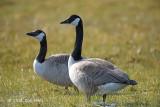 Goose, Canada @ Oland, Sweden