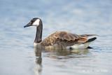 Goose, Canada @ Trönninge, Sweden