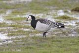 Goose, Barnacle @ Varberg, Sweden