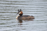 Grebe, Great Crested