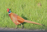 Pheasant, Common @ Varberg, Sweden
