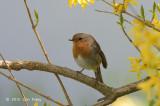 Robin, European @ Oland, Sweden
