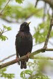 Starling, European @ Hornborgasjön, Sweden