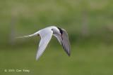 Tern, Common @ Hornborgasjön, Sweden