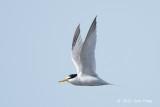 Tern, Little @ Oland, Sweden