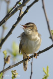 Warbler, Sedge @ Hornborgasjön, Sweden