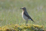 Wheatear, Northern (female) @ Oland, Sweden