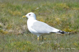 Gull, Common @ Oland, Sweden