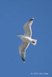 Gull, European Herring @ Copenhagen, Denmark