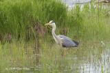Heron, Gray @ Hornborgasjön, Sweden