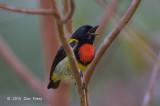 Flowerpecker, Scarlet-breasted @ G Arong