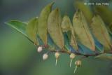Tiup Tiup tree @ G Arong