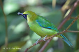 Leafbird, Blue-winged (male)