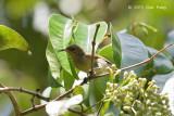 Sunbird, Purple-throated (female)