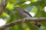 Cuckooshrike, Lesser (female)
