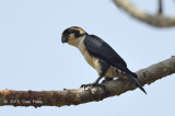 Falconet, Black-thighed