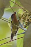 Sunbird, Ruby-cheeked (female)