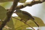 Sunbird, Ruby-cheeked (juvenile)
