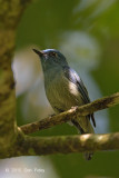 Flycatcher, Pale Blue (male)